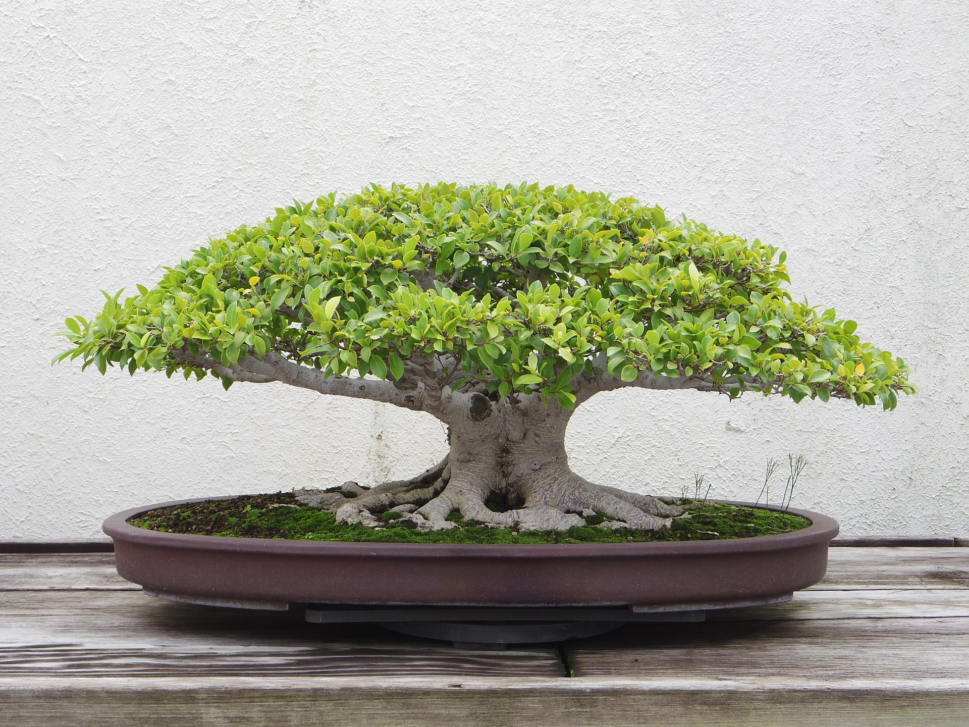 Beginners Should Know These Things Before They Buy A Bonsai Tree